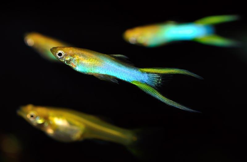 Иглохвостая рыбка