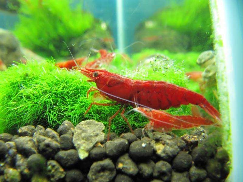 Красная креветка в аквариуме