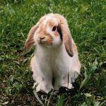 Рыженький кроль-баран