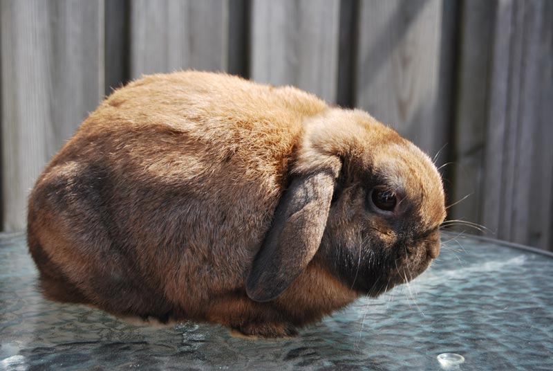 Фото кроликов баранов разница