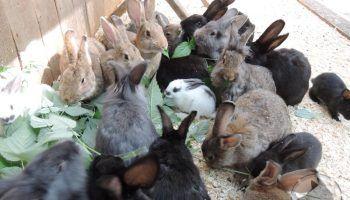 Все о болезнях кроликов