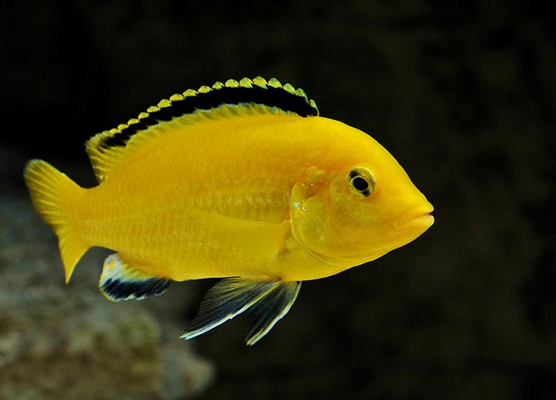 Рыбка лабидохромис