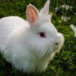 Белый львиноголовый крольчонок
