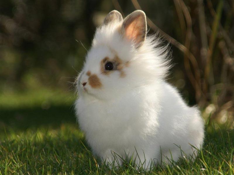 Белый кролик львиная голова