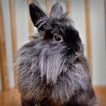 Серый пушистый кроль