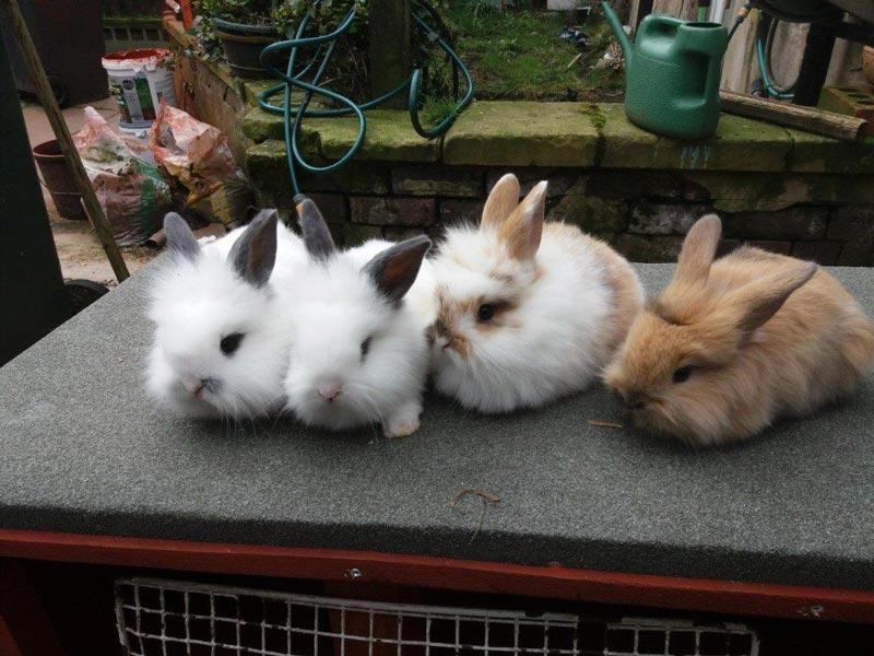Маленький львиноголовые кроли