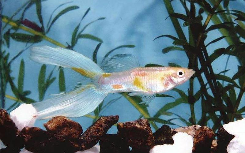 Лирохвостые рыбки