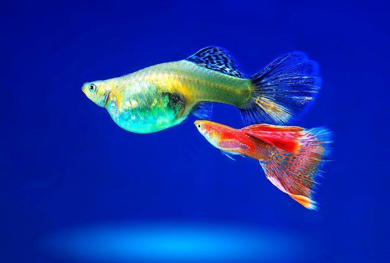 Мечехвостая рыбка