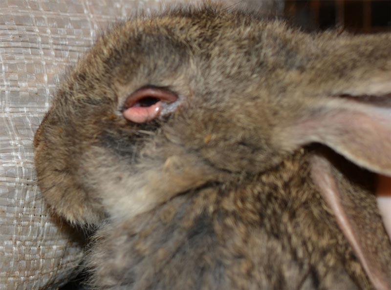 У крольчонка болит глаз