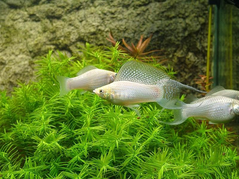 Три рыбки моллинезии