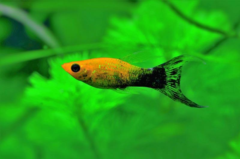 Маленькая рыбешка молли