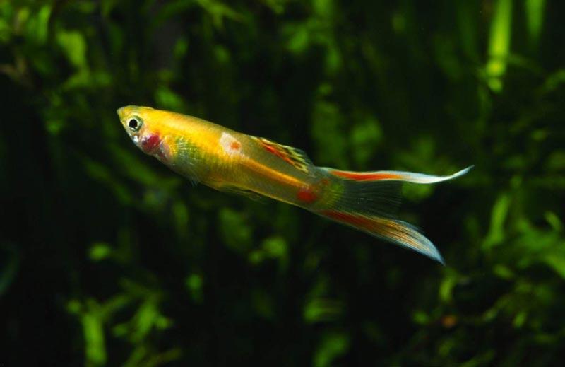 Рыженькая рыбка