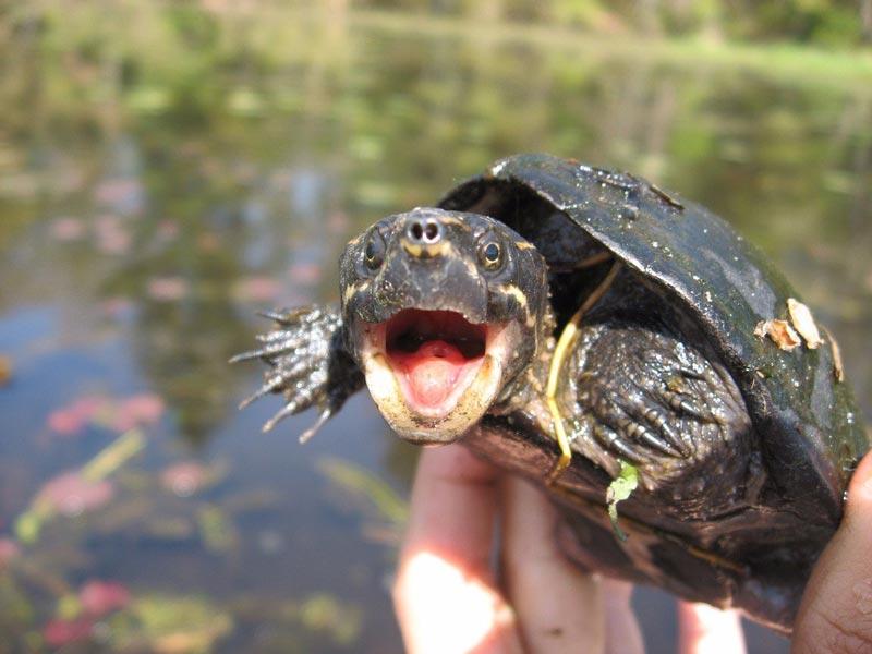 Взволнована черепаха