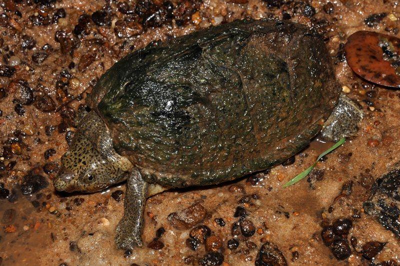 Черепашка в земле с илом