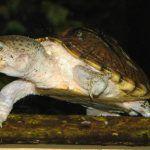 Черепаха с белым брюшком