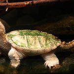 Маленькая черепаха мускусная