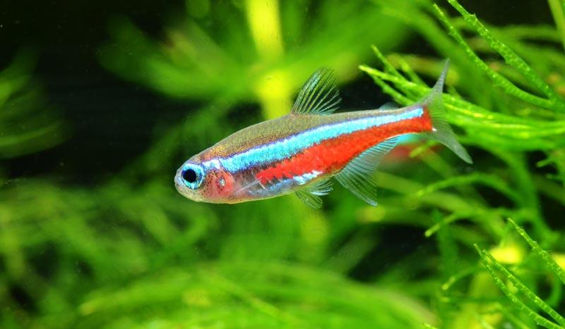 Неон рыбка