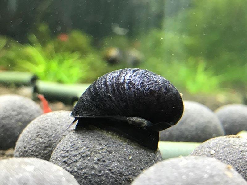 Черненькая улитка на камне