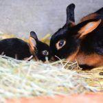 Крольчонок с матерью