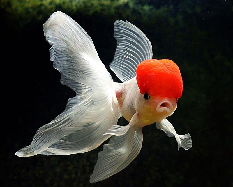 Рыбка оранда
