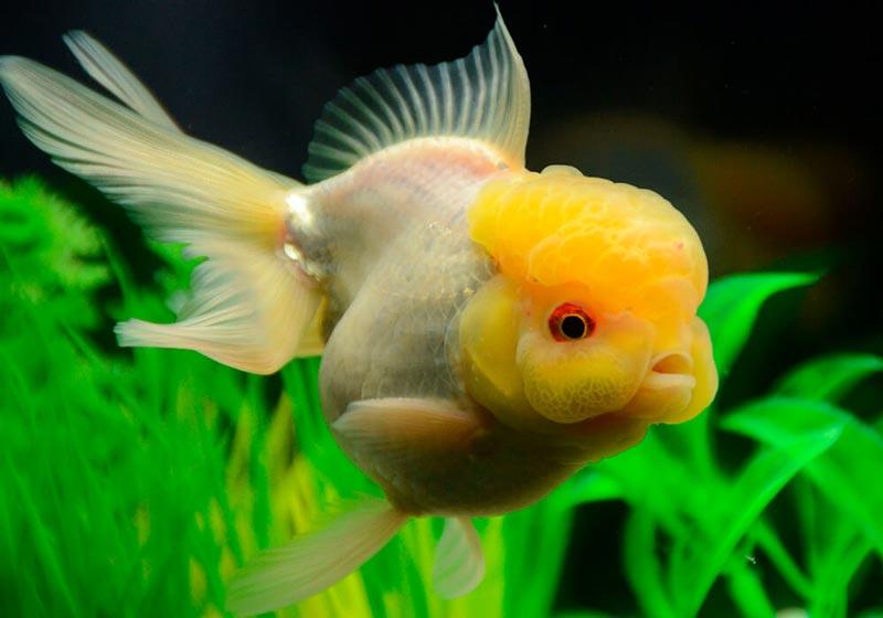 Толстенькая рыбка оранда