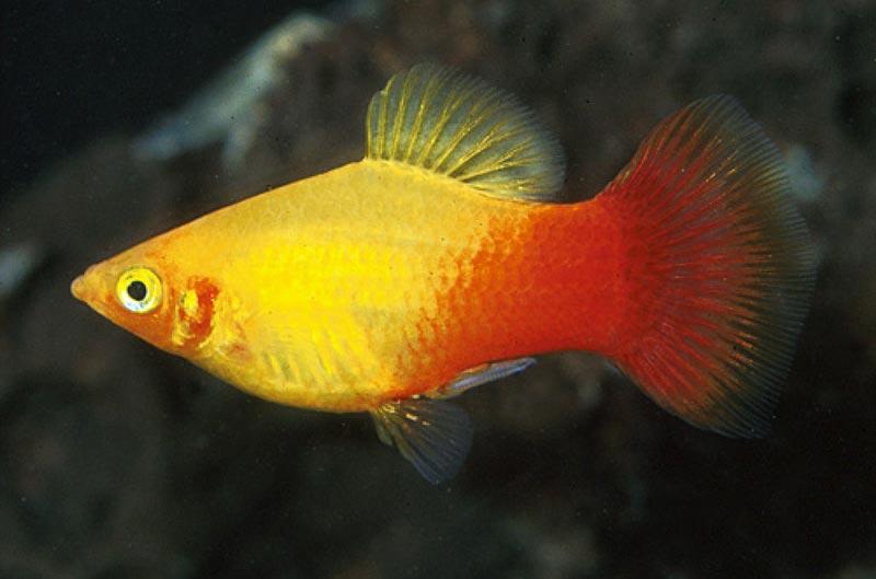 Рыбка рыже-желтая