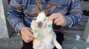 Пододерматит у кроликов и методы его лечения