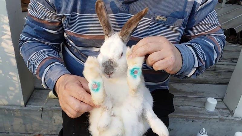 Пододерматит у кроля
