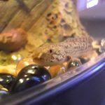 Полиптерус пятнистый в аквариуме
