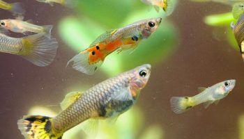 Размножение гуппи в аквариуме