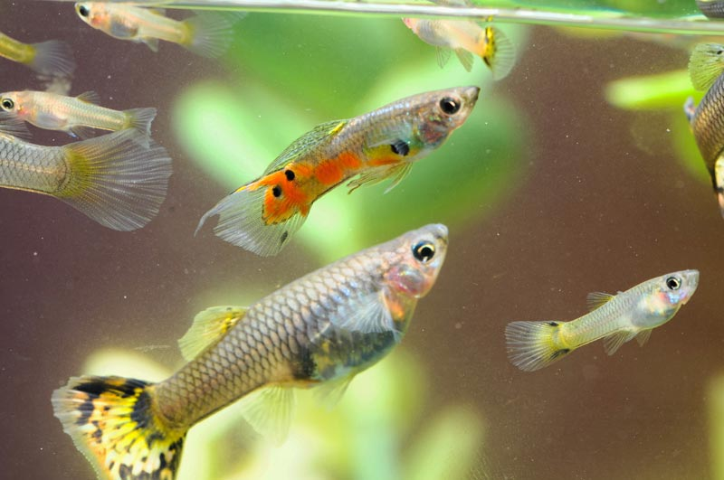 Гуппи в аквариуме