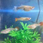 Несколько рыбок гуппи
