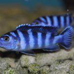 Голубо-черный псевдотрофеус