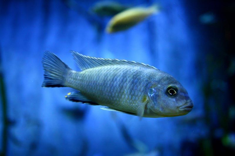 Красивая синяя рыбка