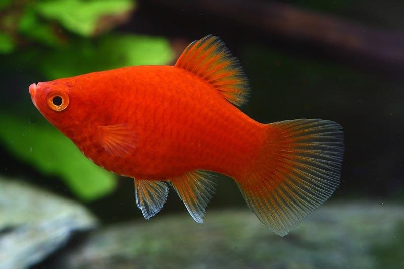 Красная рыбка пецилия