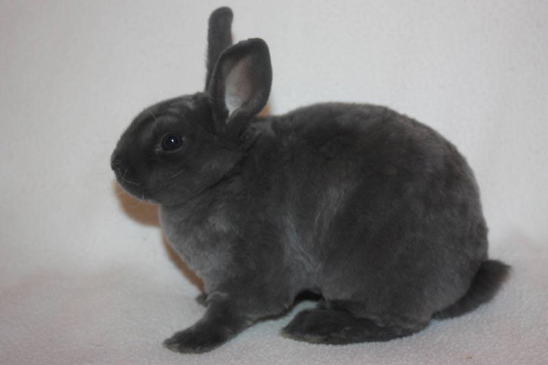 Серенький кроль