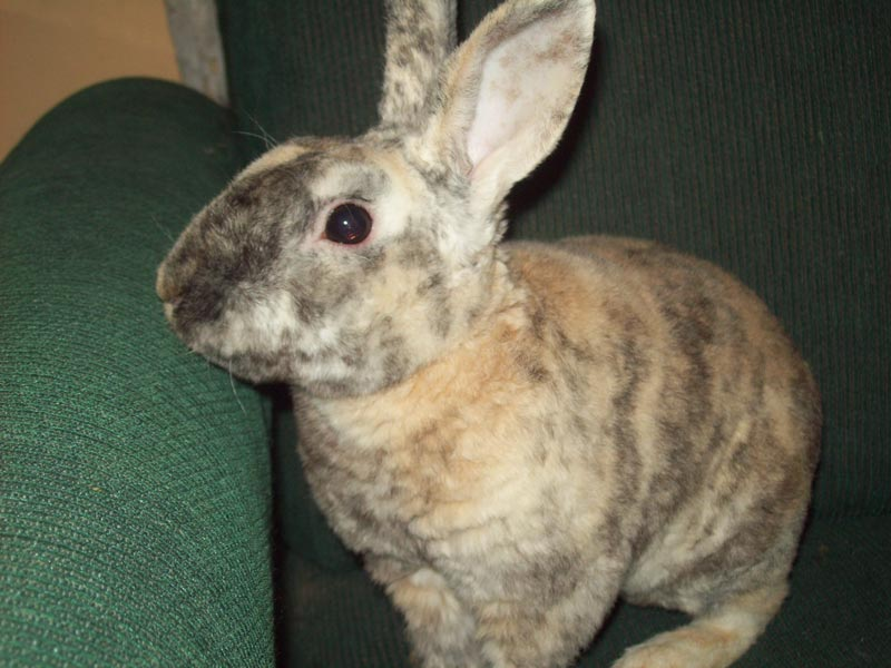 Пятнистый кроль