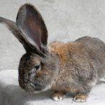 Маленький кроль ризен