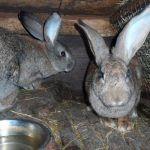 Кроли в клетке