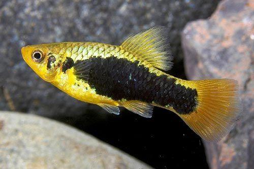 Шварц рыбка-пецилия