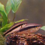 Две небольшие рыбки-сома