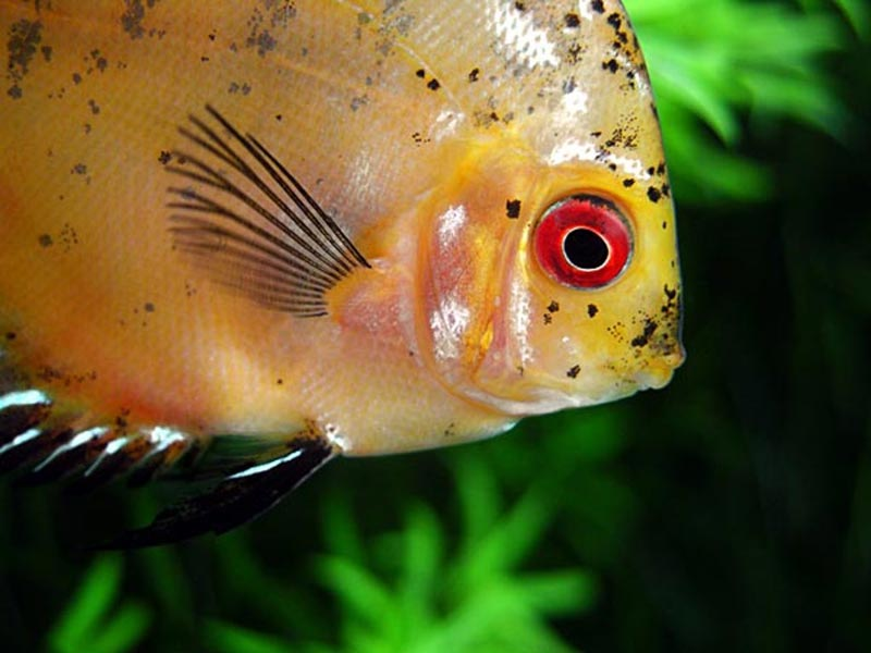 Большой глаз у скалярии