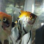 Две любопытные рыбки