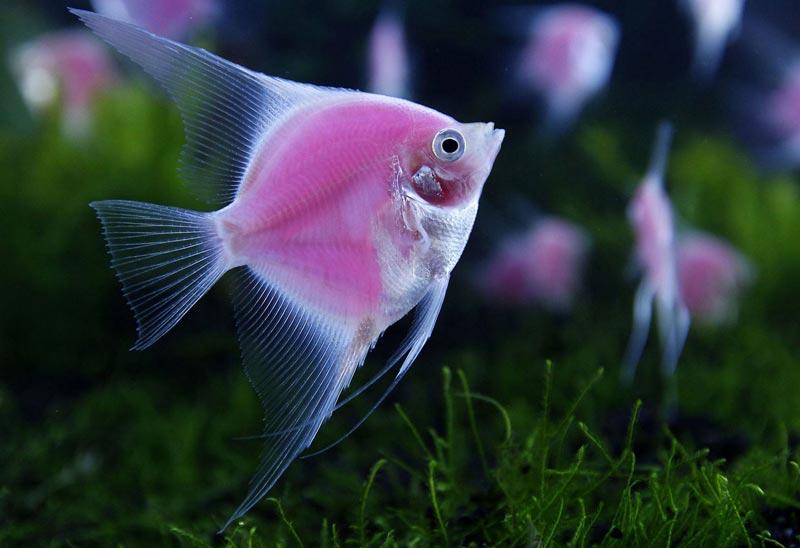 Розовенькая рыбка
