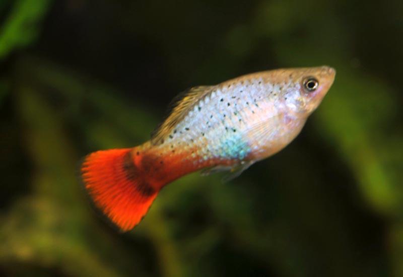 Трехцветная рыбка пецилия
