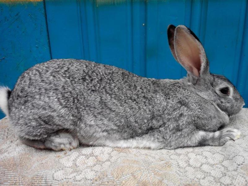 Серенький кролик породы советская шиншилла