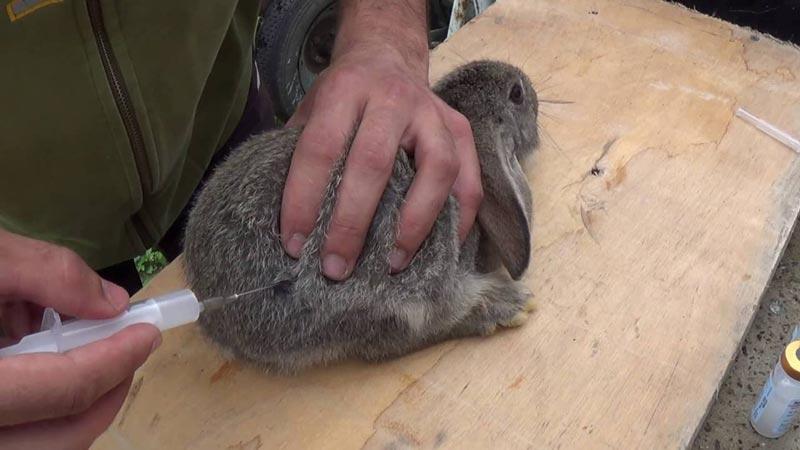 Кролю делают укол
