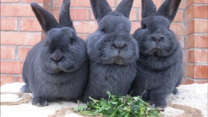 Три крольчонка