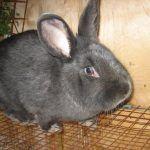 Венский кроль сидит в клетке