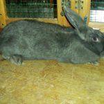 Большой венский голубой кроль